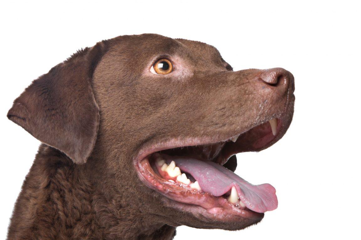 cachorro-chesapeake-bay-retriever