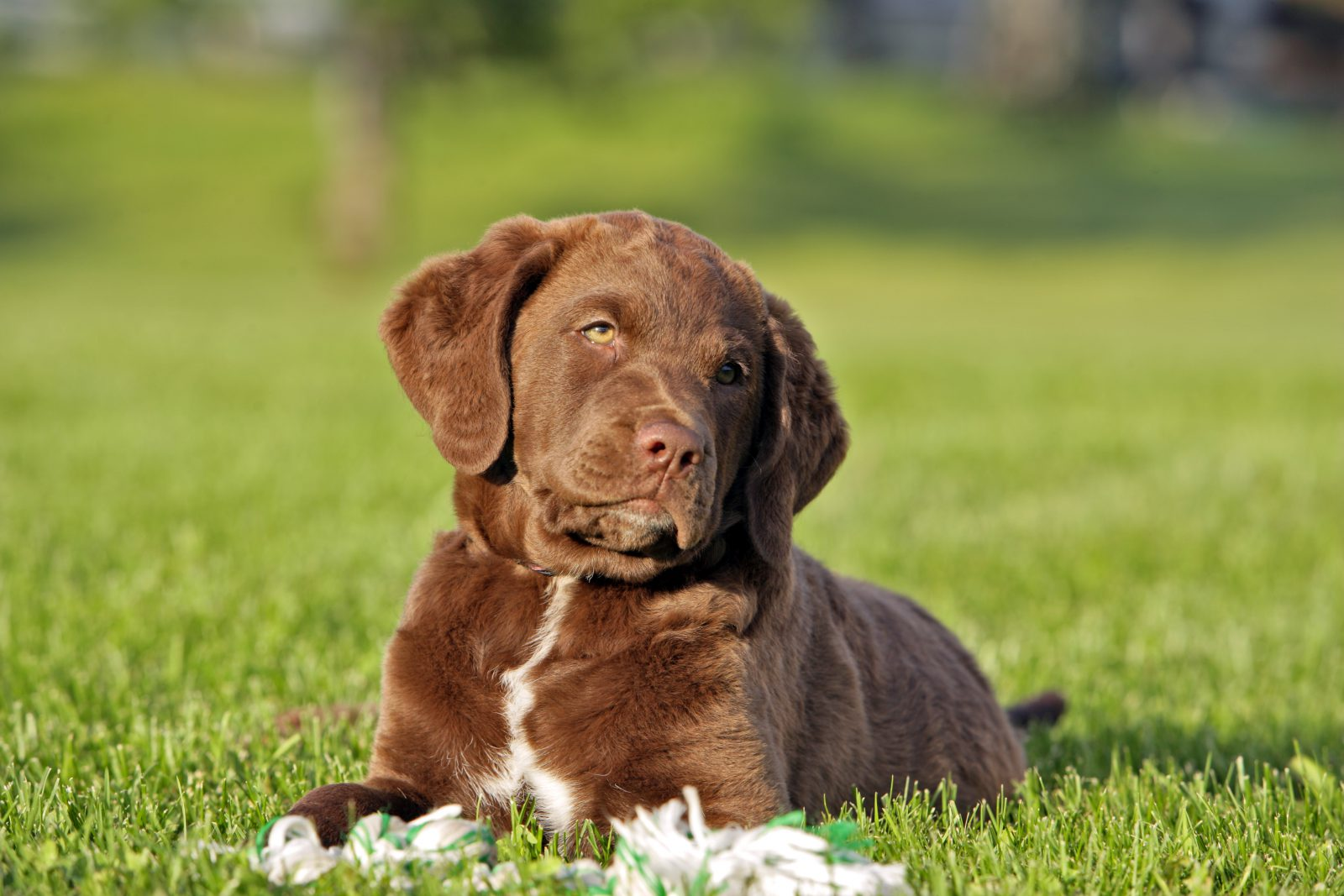 chesapeake-bay-retriever-cuidados-cachorro