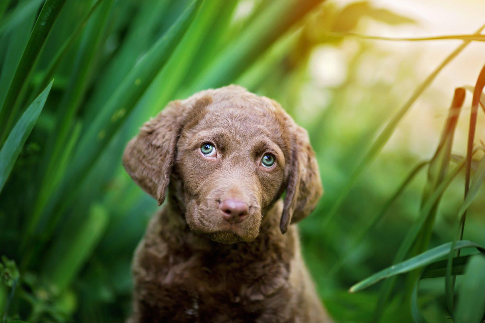 cachorro-chesapeake-bay-retriever-temperamento-filhote