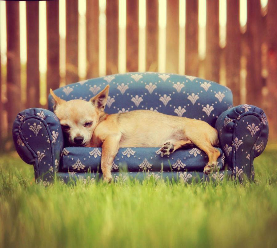 O Chihuahua precisa ficar próximo ao seu dono.