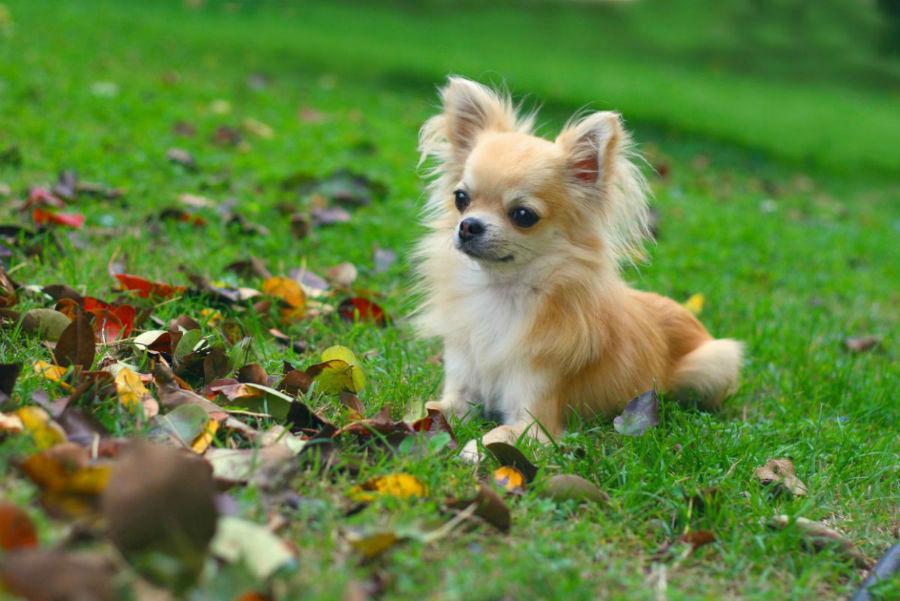 O Chihuahua adora atividades como seu dono, mas não pode se cansar muito.