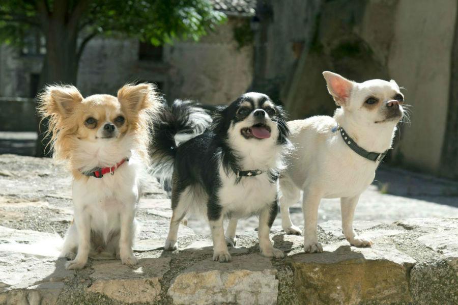 O Chihuahua pode ser tímido e bastante nervoso.