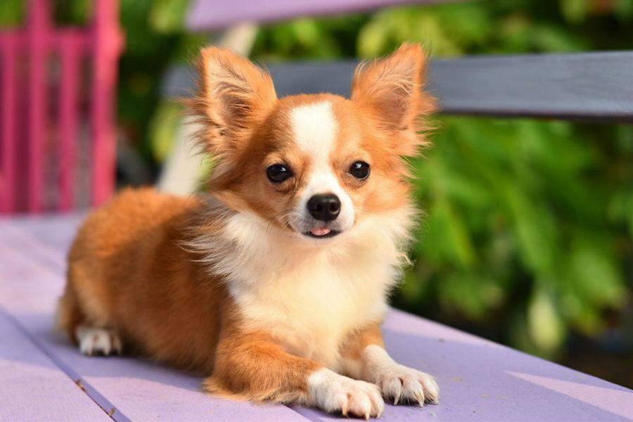 Cachorro pequeno: Chihuahua no banco do jardim