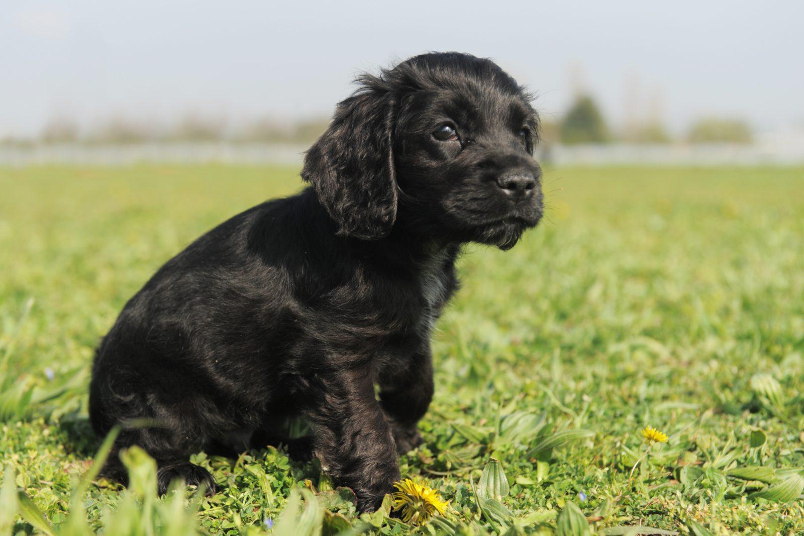 Raça de cachorro pequeno para idosos: Filhote de Cocker Spaniel inglês preto no parque.