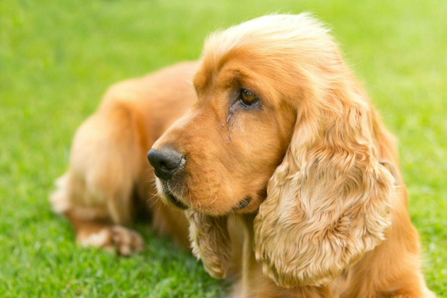 cocker-spaniel-ingles-aparencia