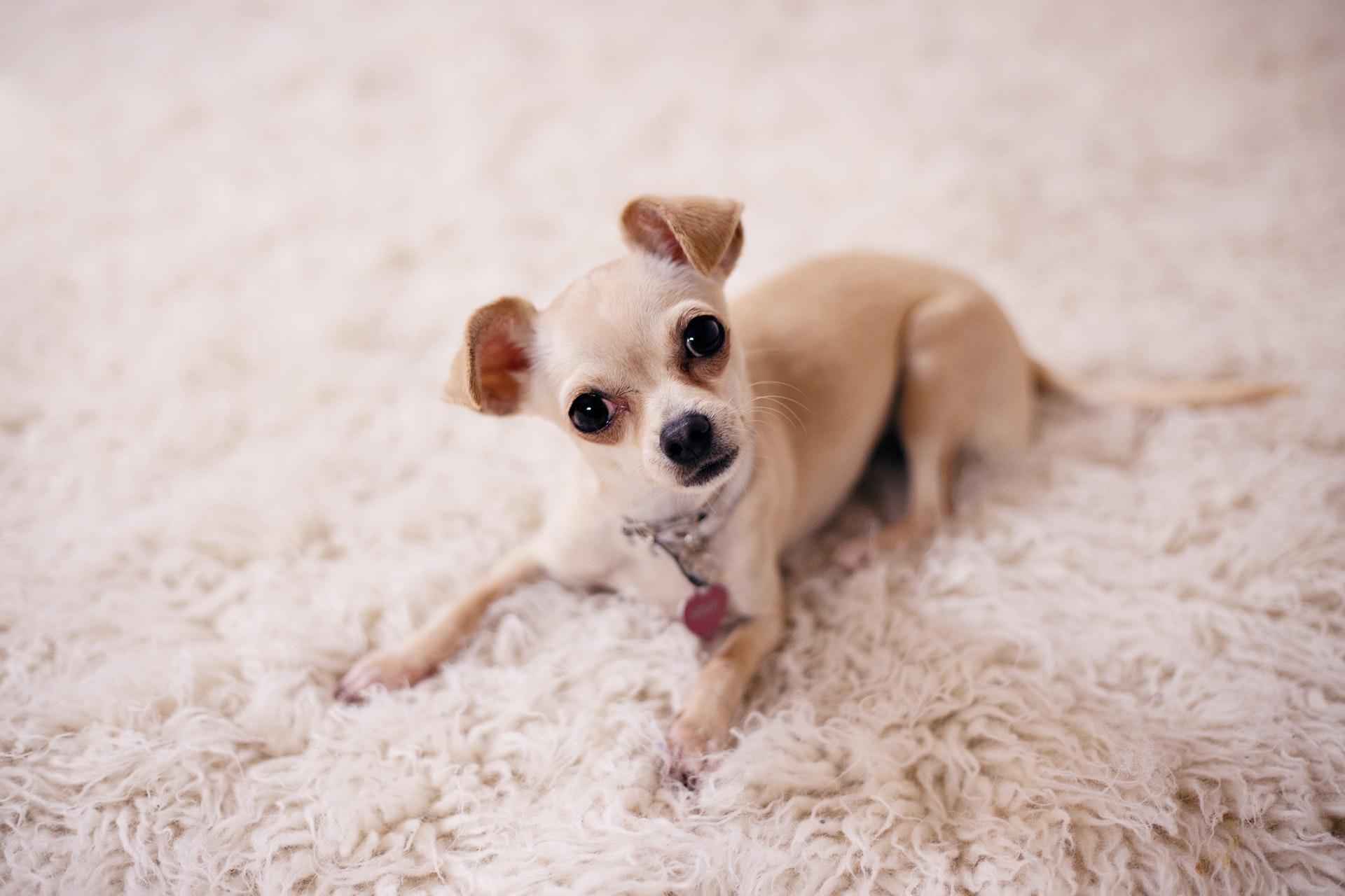 A coleira calmante antiestresse pode ajudar na ansiedade canina.