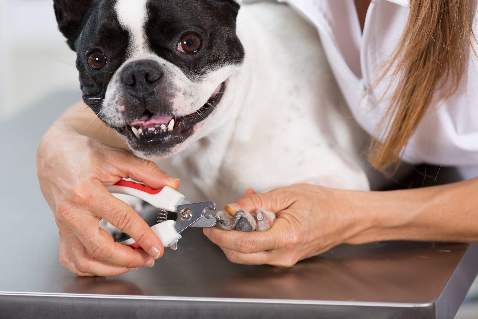 como cortar unha de cachorro: buldogue francês cortando a unha no veterinário