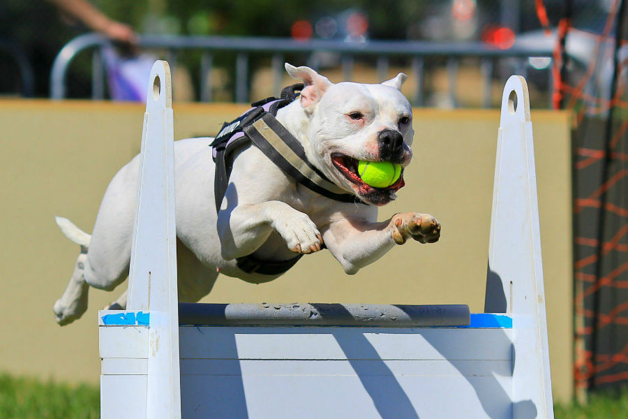 competicoes-populares-flyball