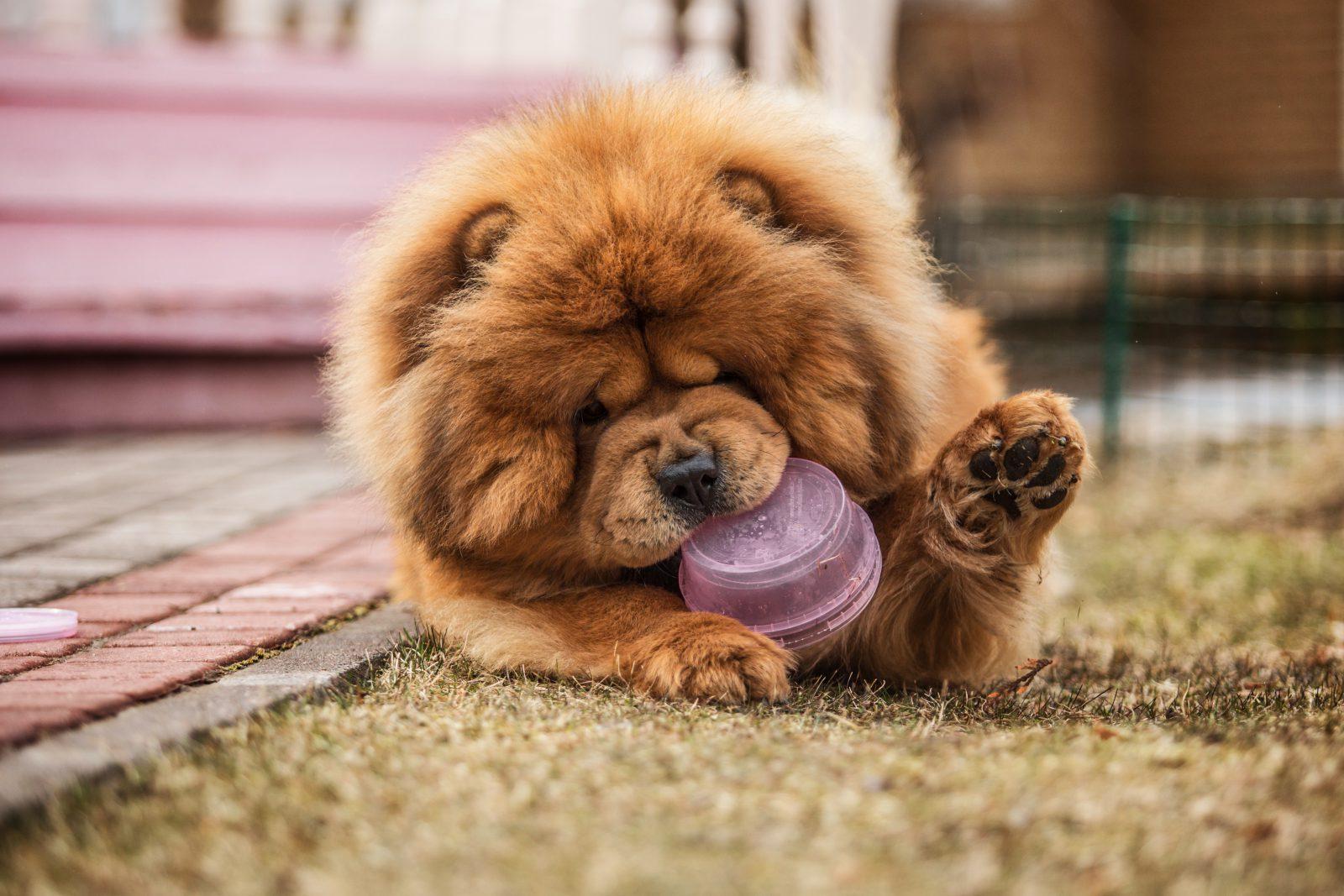 Brinquedo para cachorro: Chow Chow mastigando a sua bola de brinquedo favorita.