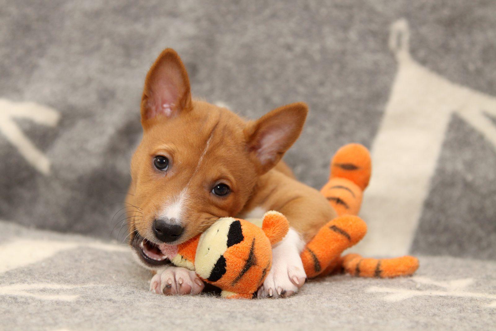 Brinquedos para cachorro idoso: Basenji mordendo seu bichinho de pelúcia favorito.
