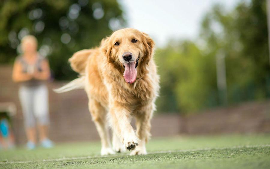 Cuidados com o cachorro: Golden Retriever já adulto fazendo sua caminhada matinal