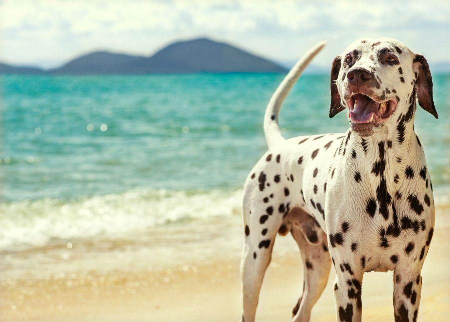 Cuidados com o cachorro: O Dálmata é uma das raças conhecidas pela sua enorme resistência física