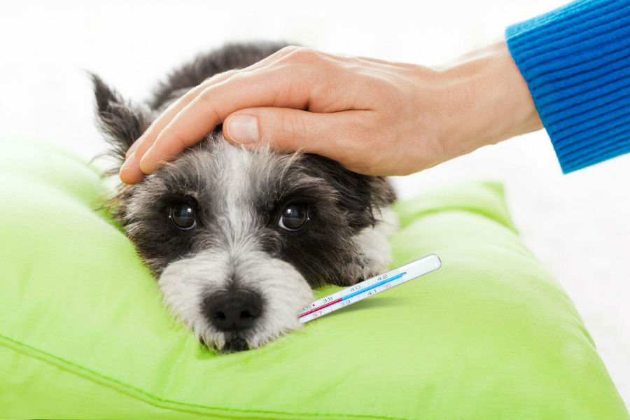 cachorro doente tirando a temperatura