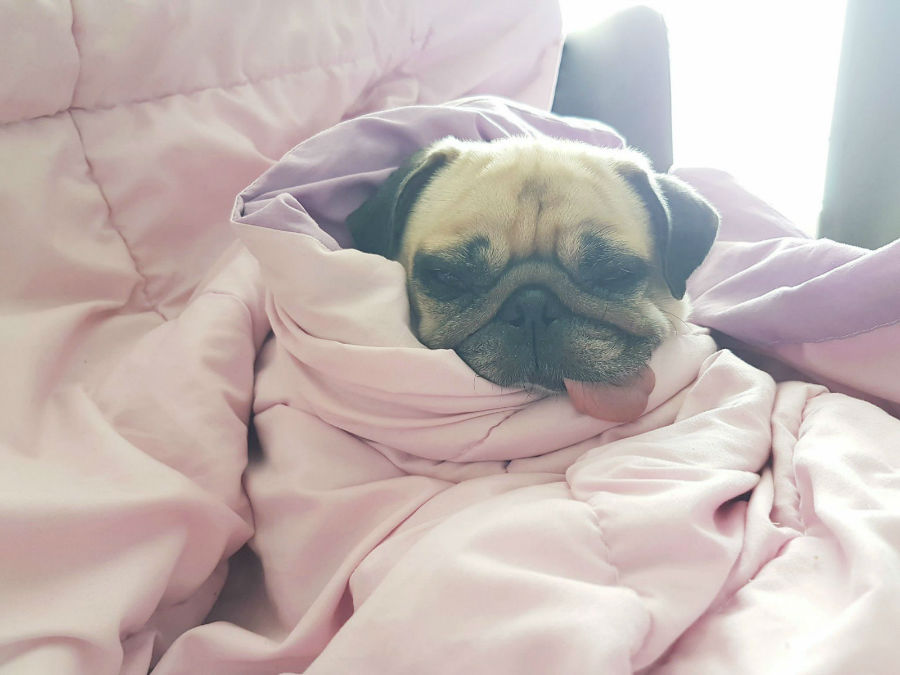 Cachorro doente: Pug enrolado nas cobertas