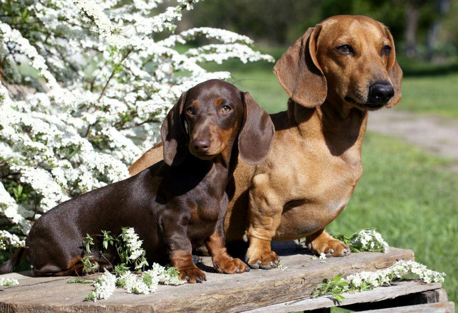 cachorro-dachshund-ambiente