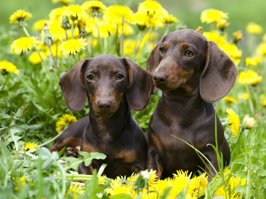 cachorro-dachshund