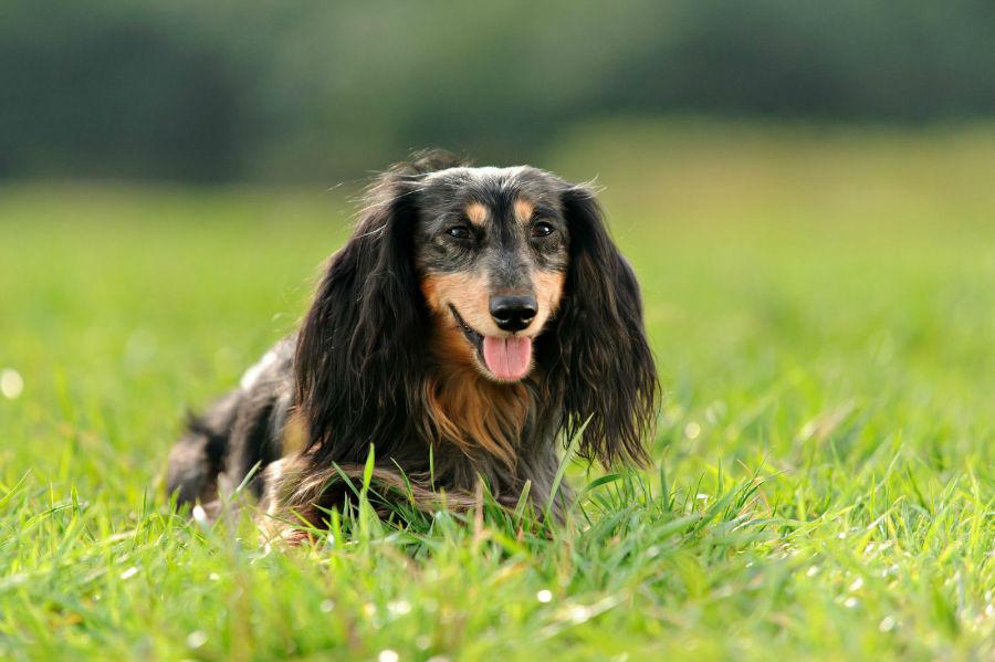 cachorro-dachshund-cuidados