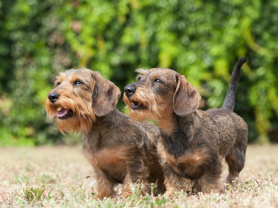 cachorro-dachshund-origem