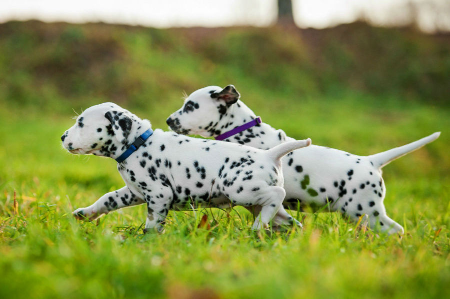 cachorro-dalmata-atividades