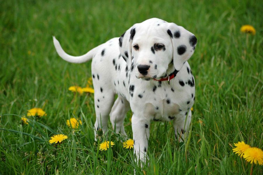 cachorros-dalmata-cuidados