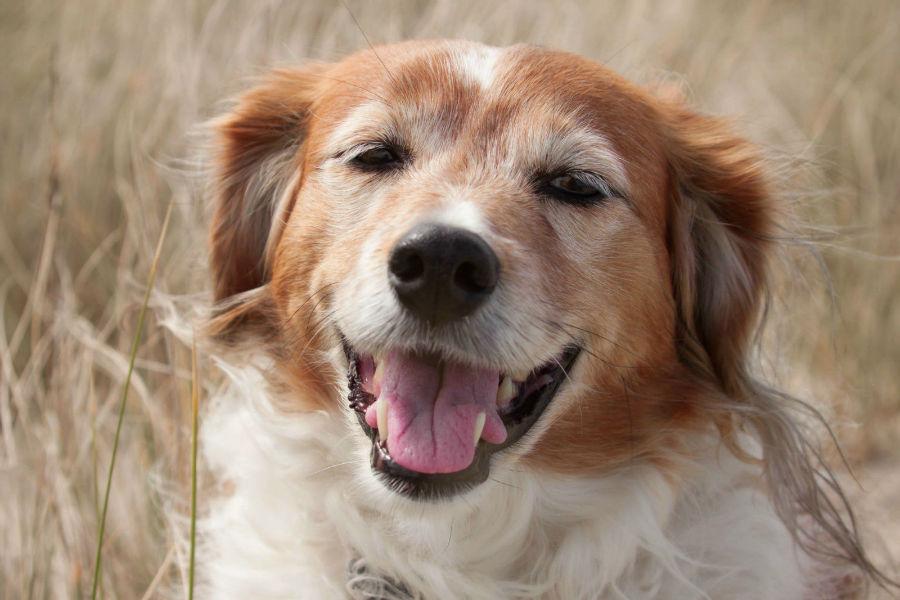 estender-longevidade-cachorro-conclusao