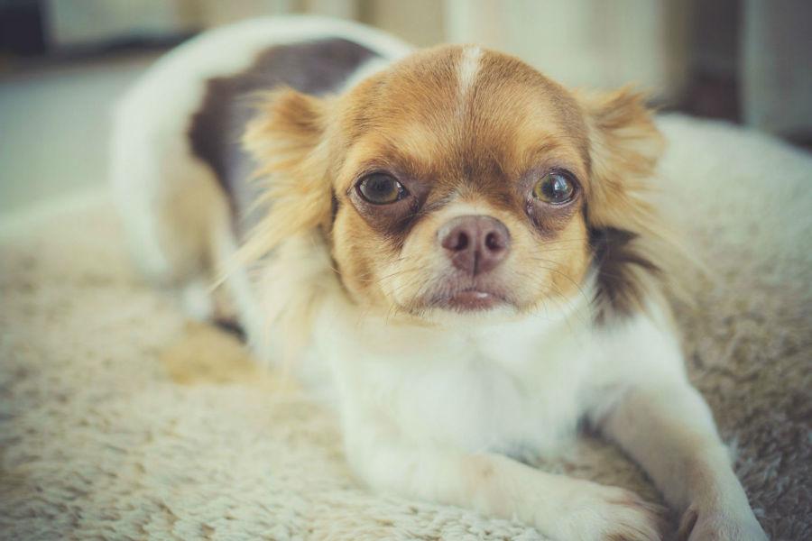 estender-longevidade-cachorro-info