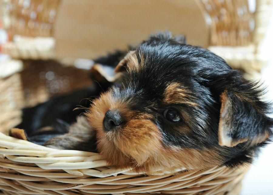 estender-longevidade-cachorro-raca-pequena