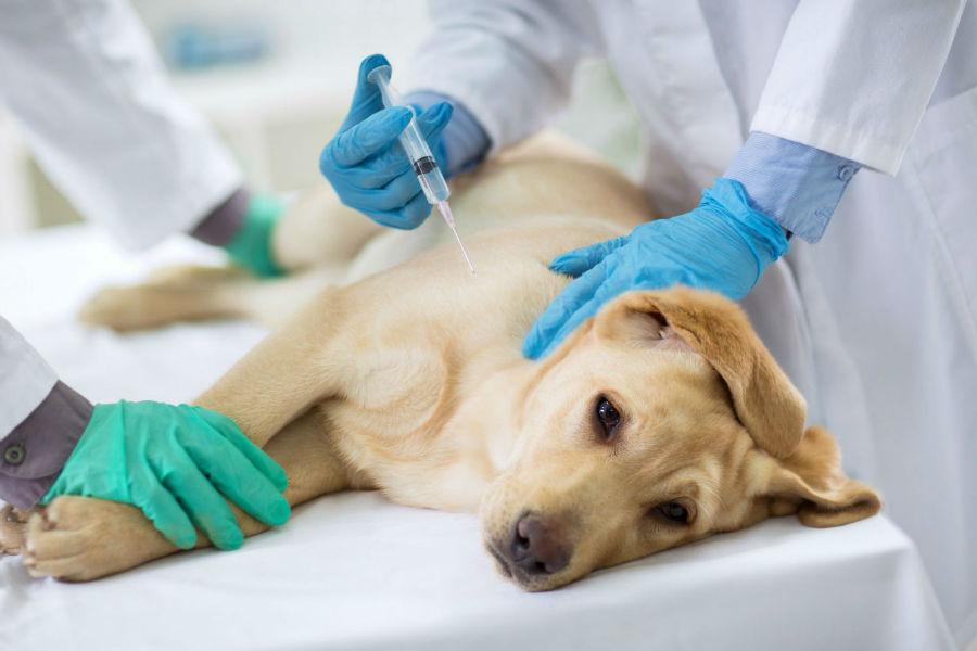 estender-longevidade-cachorro-vacinas