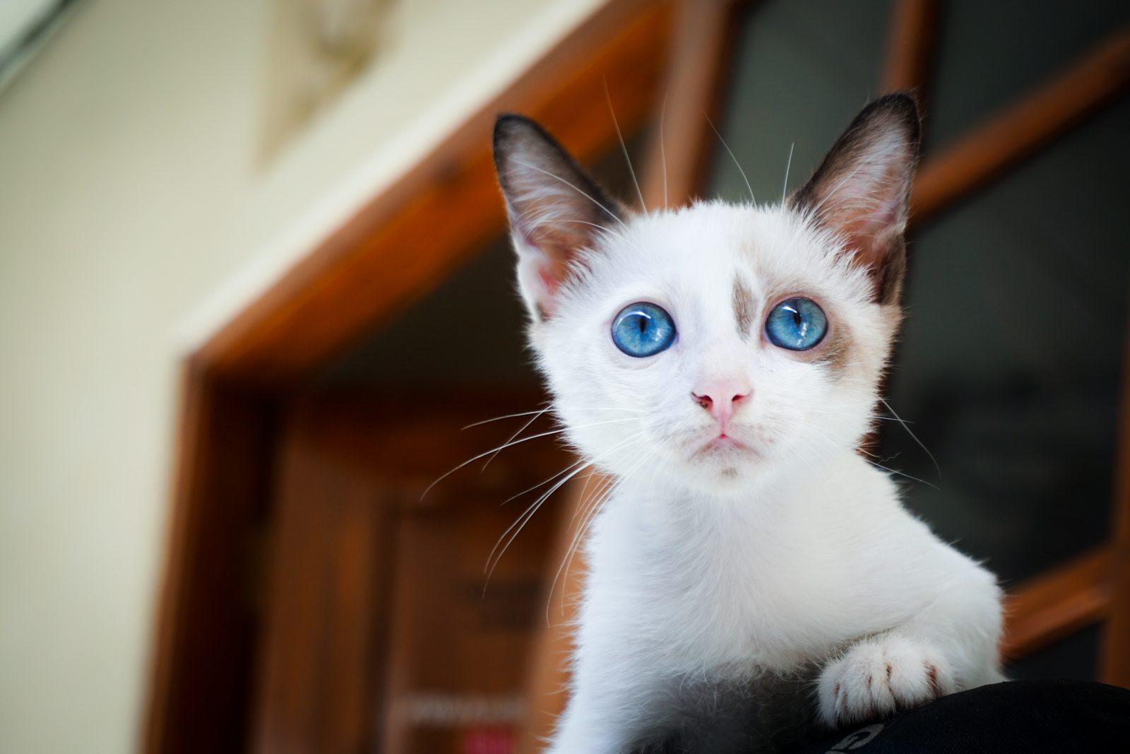 Filhote de gato deve se alimentar bem e ter água abundante.