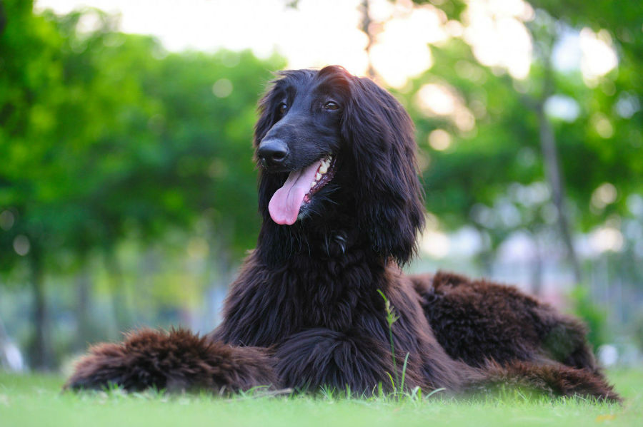 cachorro-galgo-afegao-ambiente