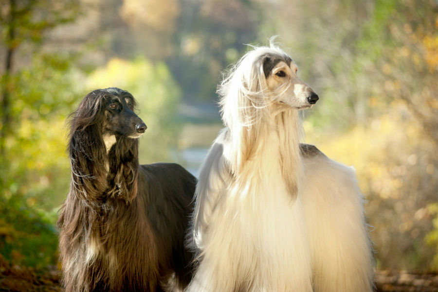 cachorro-galgo-afegao-aparencia