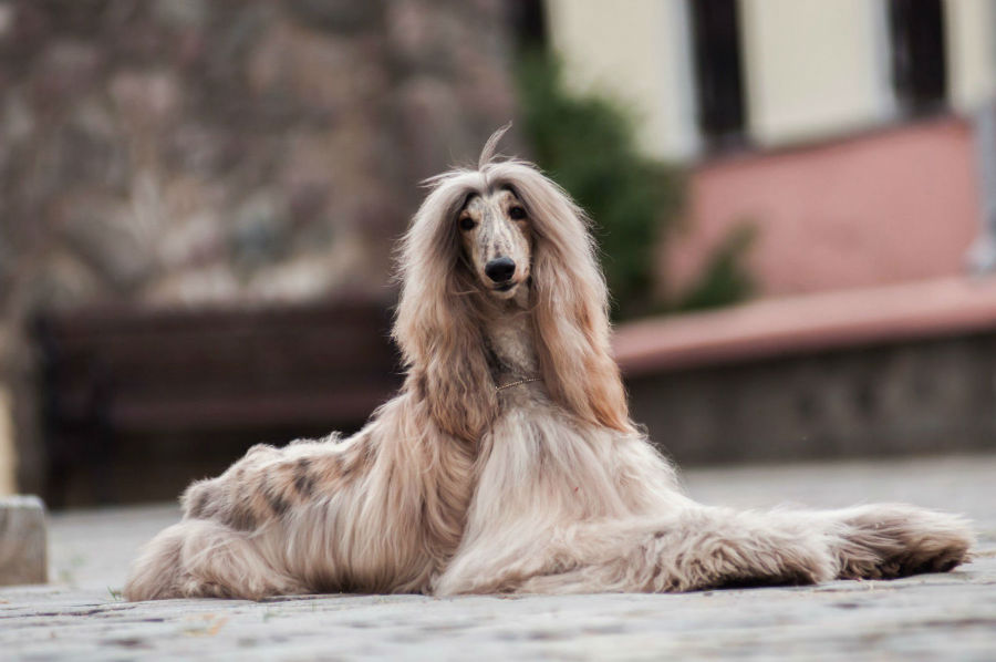 cachorro-galgo-afegao-origem