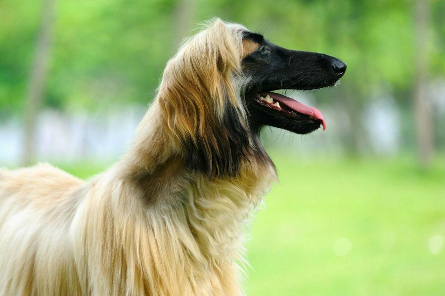 cachorro-galgo-afegao-treinamento