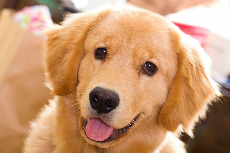 cachorro-golden-retriever-aparencia