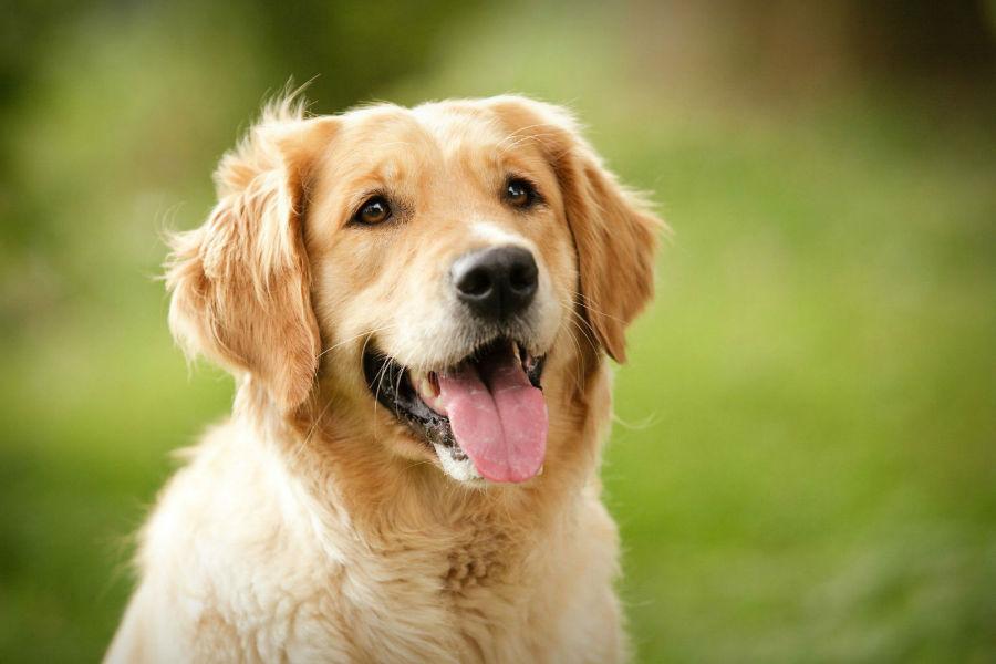 cachorro-golden-retriever-cuidados