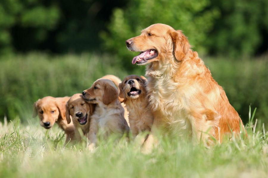 cachorro-golden-retriever-intro