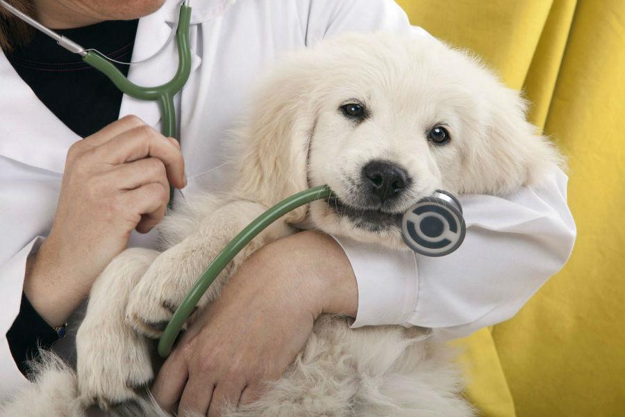cachorro-golden-retriever-saude