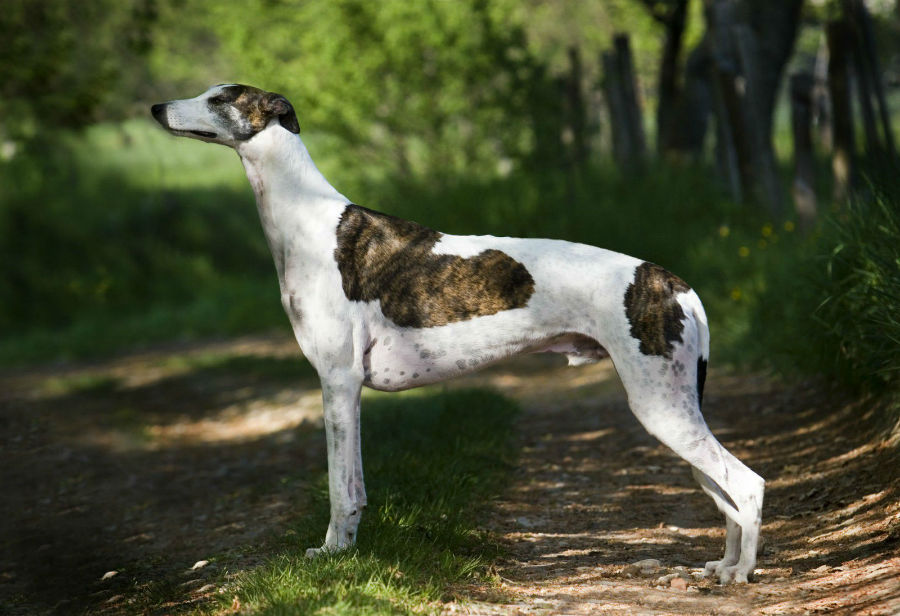 greyhound-italiano-aparencia