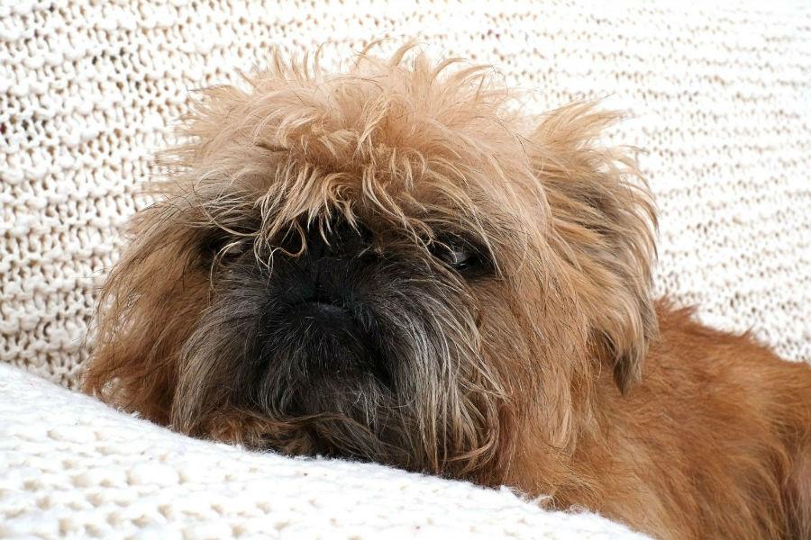 Cachorro pequeno: Griffon de Bruxelas deitado sobre almofadas.
