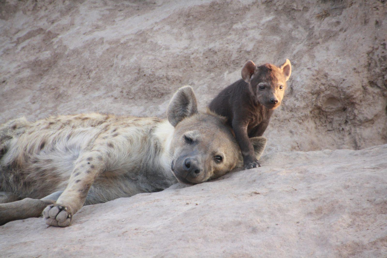 O processo reprodutivo das hienas depende das fêmeas.
