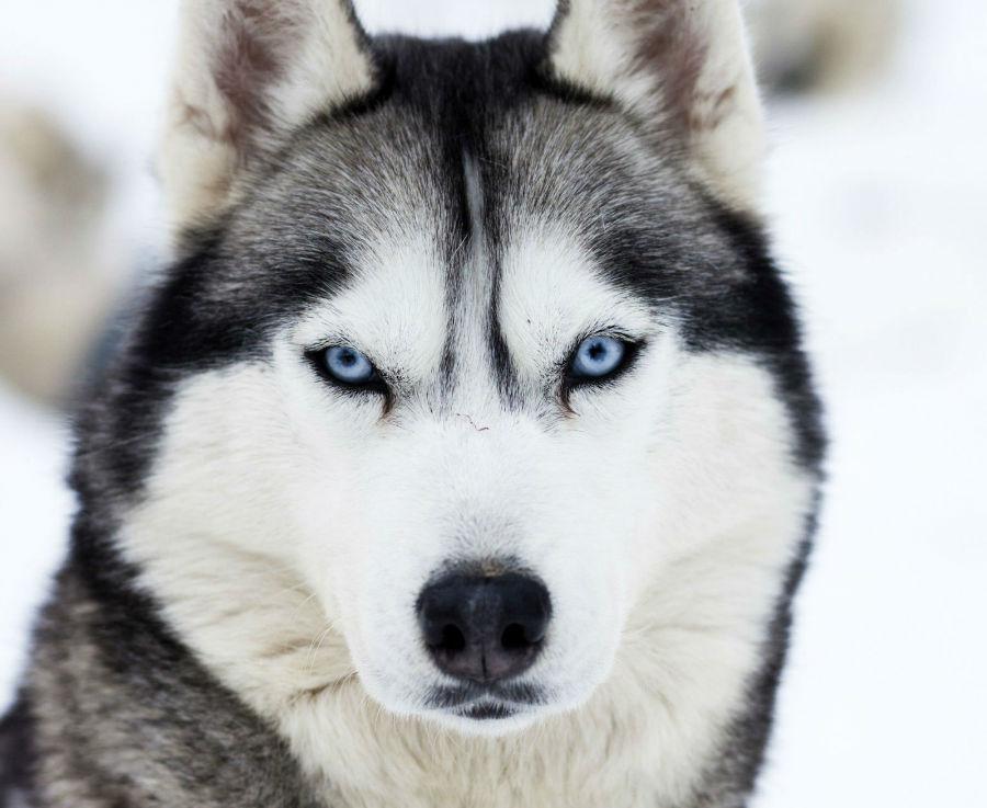 husky-siberiano-aparencia