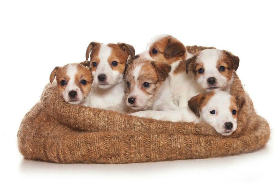 cachorro-jack-russel-ambiente