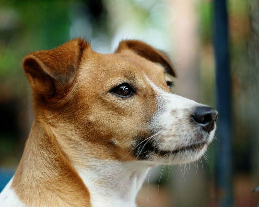 cachorro-jack-russel-aparencia