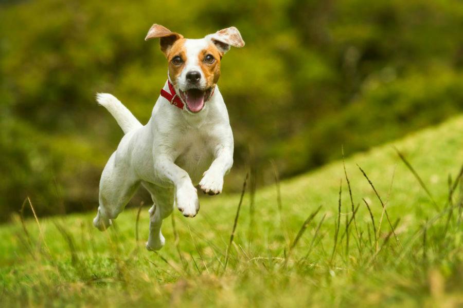 cachorro-jack-russel-atividade