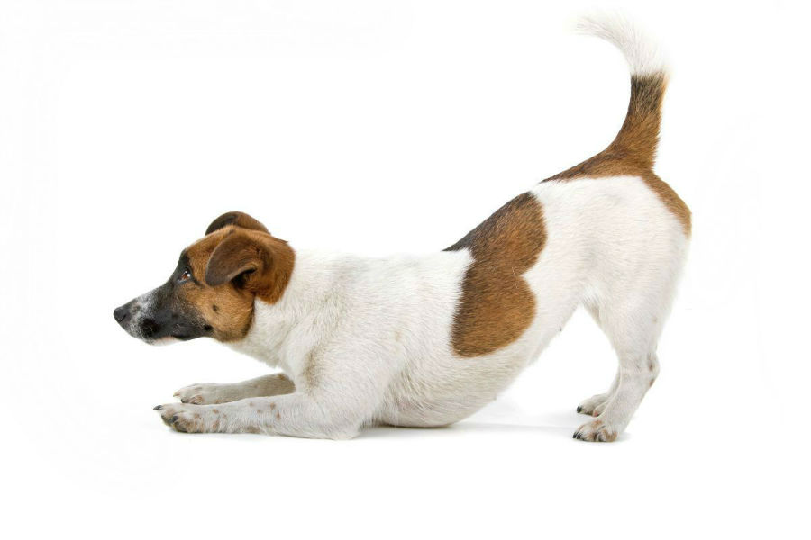 cachorro-jack-russel-treinamento