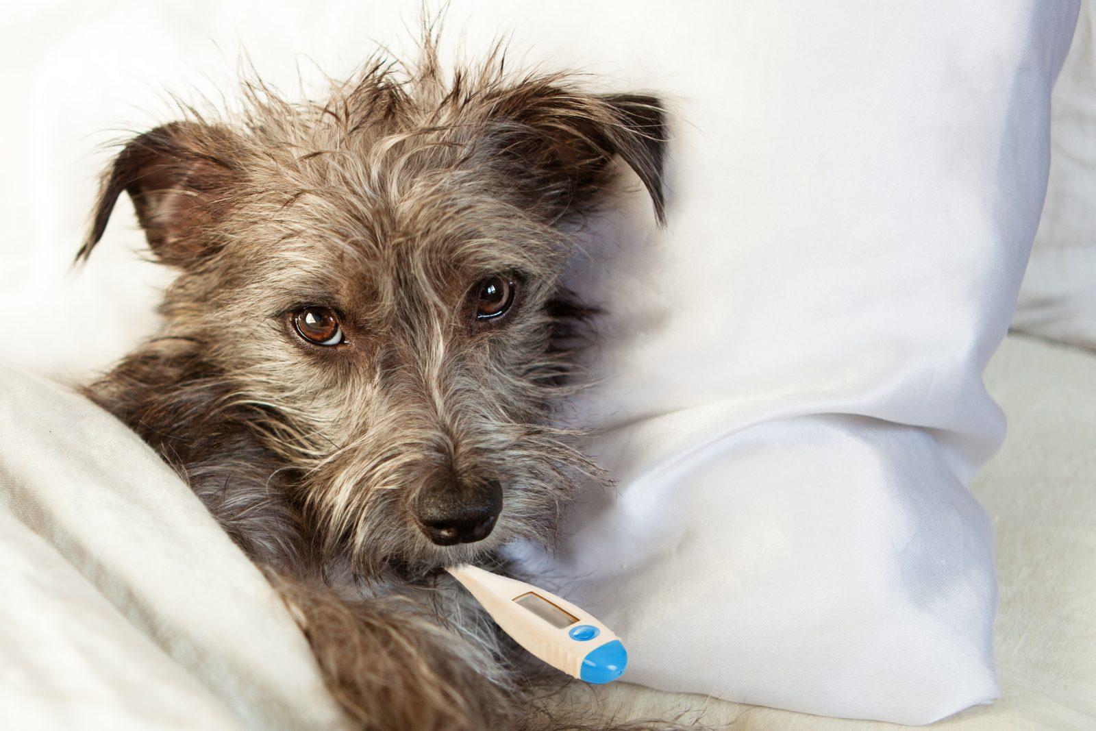 Itens essenciais para Kit de Primeiros Socorros para cachorro