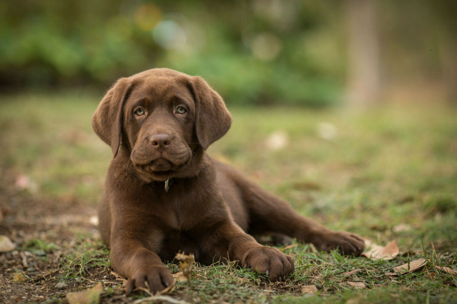 cachorro-labrador-cuidados