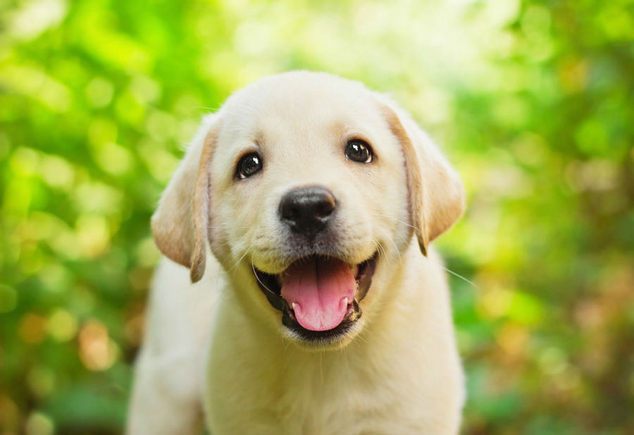 cachorro-labrador-saude