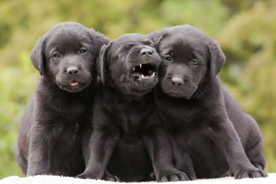 cachorro-labrador-treinamento