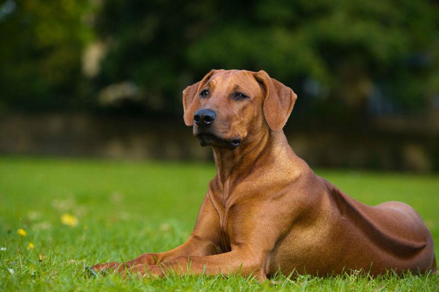 cachorro-leao-rodesia-aparencia